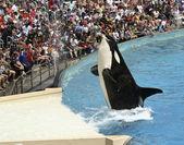 A Killer Whale Catches a Fish in an Oceanarium Show — Stock Photo