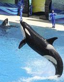 Een orka presteert in een show Oceanário de Lisboa — Stockfoto