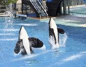 A Killer Whale Pair Perform in an Oceanarium Show — Stock Photo