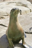 A Close Up of a Sea Lion — Stock Photo