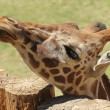 Stock Photo: Giraffe Peers Over Top of Log Fence