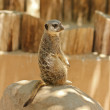 Stock Photo: Meerkat Sentry Sits on Rock
