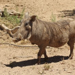 A View of a Warthog, an African Mammal — Stock Photo