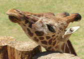 A Giraffe Peers Over the Top of a Log Fence — Stock Photo