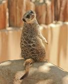 A Meerkat Glances Over Its Shoulder — Stock Photo