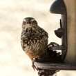 A Cactus Wren Clings to a Bird Feeder — Stock Photo
