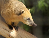 A Coati with Golden Fur Perched on a Log — Stock Photo