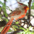 A Male Pyrrhuloxia in a Mesquite Tree — Stock Photo
