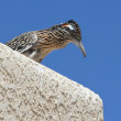 A Greater Roadrunner, in the Cuckoo Family — Stock Photo #8135815