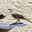 A Thirsty Mockingbird with Water on its Throat — Stock Photo