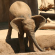 A Baby African Elephant Plays in a Puddle — Stock Photo
