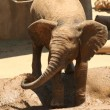 Stock Photo: Baby AfricElephant Playfully Squirts Himself in Puddle