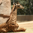 A Baby Giraffe in a Zoo — Stock Photo