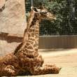 Stock Photo: Baby Giraffe in Zoo