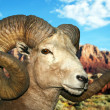 A Bighorn Ram at the Vermilion Cliffs — Stock Photo
