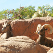 A Mated Pair of Bighorn Sheep on a Cliff — Stock Photo