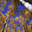 A blue and gold canopy of aspen leaves and sky - Foto de Stock