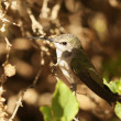 A Female Calliope Hummingbird Perched on a Branch — Stock Photo #8177649