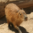 A Capybara, Hydrochoerus, the Largest Living Rodent — 图库照片