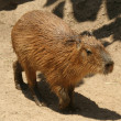A Capybara, Hydrochoerus, the Largest Living Rodent — Stock Photo #8177681