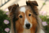 A Shetland Sheepdog — Stock Photo