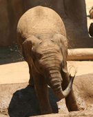 A Baby African Elephant Showers Himself in a Puddle — Stock Photo