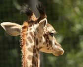żyrafa dziecka od tyłu — Zdjęcie stockowe
