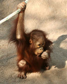 A Baby Orangutan Chewing on a Stick — Stock Photo