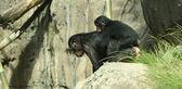 A Baby Bonobo Chimpanzee Rides Piggyback on His Mother — Stock Photo