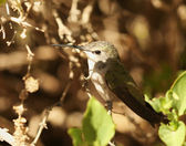 A Female Calliope Hummingbird Perched on a Branch — Stock Photo