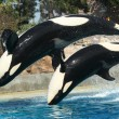 Stock Photo: A Mother and Calf Orca do a Backflip