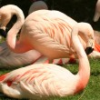 A Flock of Chilean Flamingos — Stock Photo