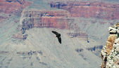 A California Condor, Gymnogyps californianus, Soars Among the Cliffs of the — Stock Photo
