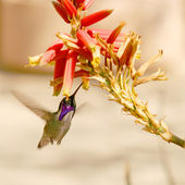 Costa's Hummingbird, Calypte costae, common in Southwest deserts and k — Stock Photo