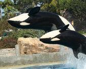A Mother and Calf Orca do a Backflip — Foto de Stock