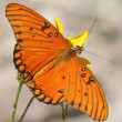 An Orange Gulf Fritillary Butterfly on a Yellow Flower — Stock Photo #8273417