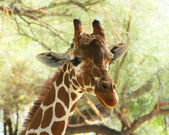 An African Giraffe Among the Tree Branches — Stock Photo