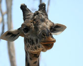 An African Giraffe Among the High Tree Branches — Stock Photo