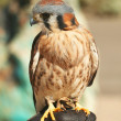 An American Kestrel on a Falconer's Glove — Stock Photo