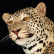An African Leopard — Photo