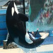 Stock Photo: Levitating Orca