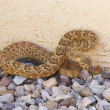 Lethal Mojave Rattlesnake Against Stucco Wall — Stock Photo #8294340
