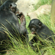 Stock Photo: Mother Bonobo Chimpanzee and Her Baby