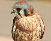 An American Kestrel — Stock Photo
