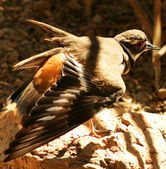 A Killdeer feigning injury near its nest to distract intruders. — Stock Photo