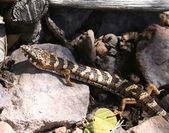 Arizona Alligator Lizard — Stock Photo