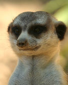 A Portrait of a Meerkat or Suricate — Stock Photo