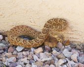 A Lethal Mojave Rattlesnake Against a Stucco Wall — Stock Photo