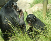A Mother Bonobo Chimpanzee and Her Baby — Stock Photo