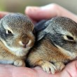A Pair of Baby Cottontail Rabbits Rest in a Human Hand — Stock Photo #8347394
